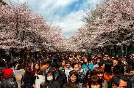 Lễ hội hoa anh đào tại Nhật Bản