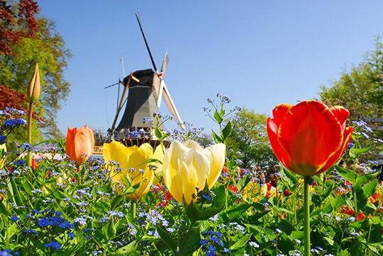 Chiêm ngưỡng vẻ đẹp hoa tuylip khi du học Hà Lan - những bông hoa có nguồn gốc từ Thổ Nhĩ Kỳ
