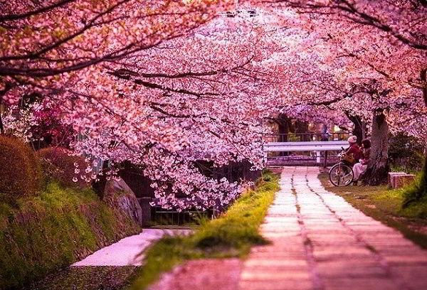 Mùa xuân - mùa của hoa anh đào.